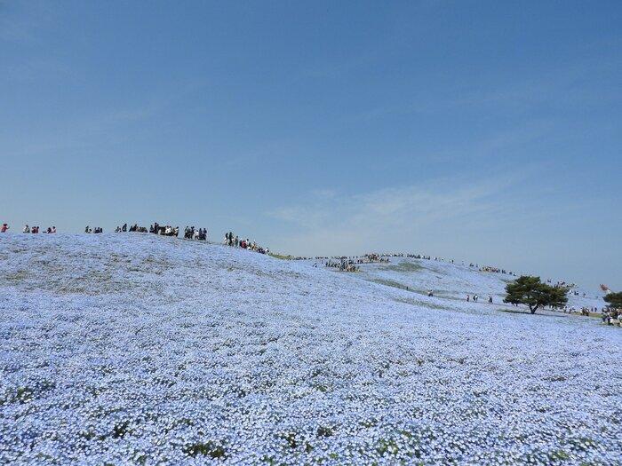Thiên đường hoa Nemophila xinh đẹp ở Nhật Bản
